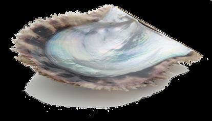 美しいあこや母貝が美しい干渉色を産み出します。