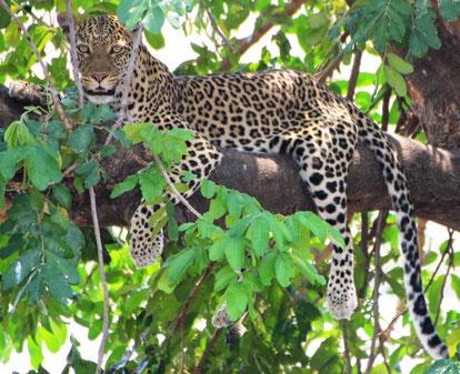 Instant magique où nous croisons le regard du léopard...