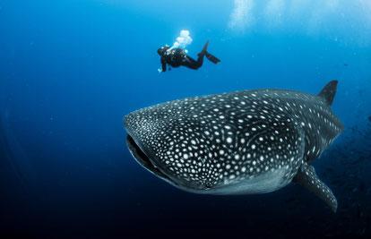 Tauchkreuzfahrten und Tagestouren Galapagos