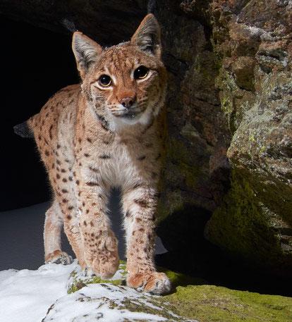Ein weiblicher Luchs (Lynx lynx) nachts auf der Pirsch.