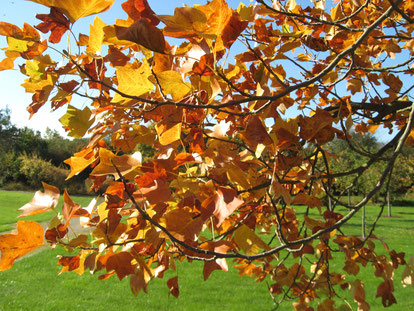 Der Tulpenbaum färbt sich im Herbst leuchtend goldgelb