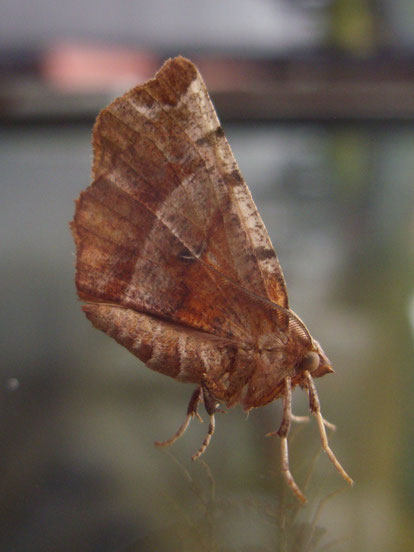 Early thorn moth Selenia dentaria