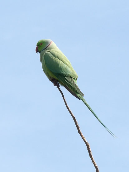Ring-necked (or rose-ringed) parakeet Psittacula krameri
