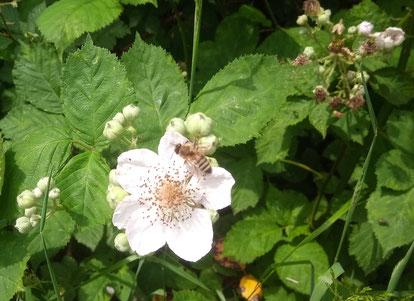 Die Brombeere blüht sehr lange (bis in den August hinein). Auf diesem Bild vom 20.6.2020 sieht man links noch geschossene Knospen, während die Blüten rechts bereits dem Fruchtansatz weichen.