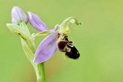 Bienen-Ragwurz (Foto von Dr. E. Pfeuffer)