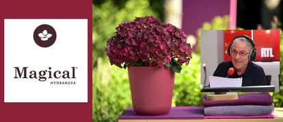 Le Jardin RTL parle des hortensias Magical Hydrangea