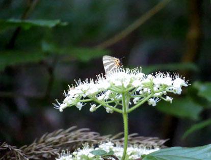 ガマズミで吸蜜するトラフシジミ(春型)。