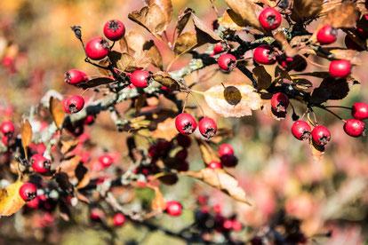 Weißdorn Herbst Blätter Früchte
