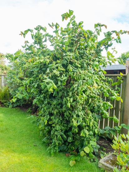Trüffelgarten - In Trockenperioden sollten die Trüffelbäume oder Trüffelsträucher gut gegossen werden, aber Staunässe ist zu vermeiden.