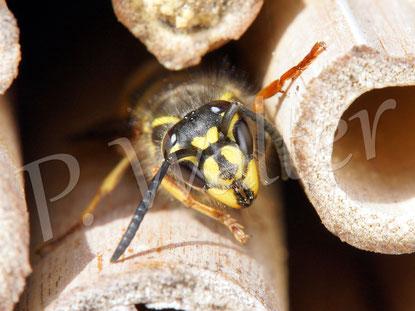 """26.03.2017 : eine """"richtige"""" Wespe hat sich in der Insektennistwand """"verirrt"""""""