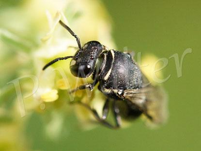 Bild: Maskenbiene an der Gelben Resede