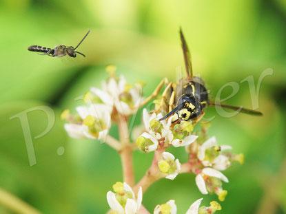 Bild: auch eine Wespe bedient sich an dem reichlich angebotenen Nektar der Bienenbaumblüten, Eudodia hupehensis