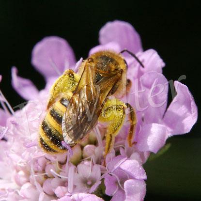 Bild: Weibchen der Gelbbindigen Furchenbiene; Halictus scabiosae, trinkt Nektar an einer Skabiosenblüte