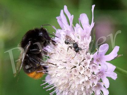 Bild: ein Löcherbienenmännchen, Osmia truncorum, und eine Steinhummel an einer Skabiose
