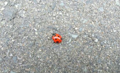 アスファルトにてんとう虫、春発見!