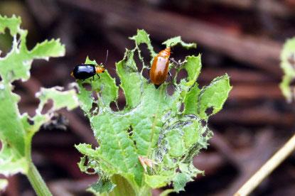 右がウリハムシの成虫 (左はウリハムシモドキの成虫)