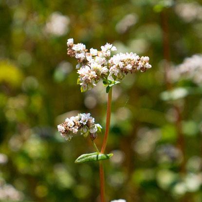 photo de fleurs de sarrasin