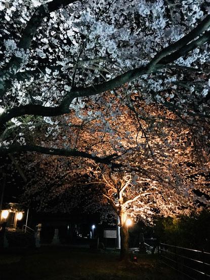 隠岐の島 京見屋分店 ブログ 八幡さんの夜桜