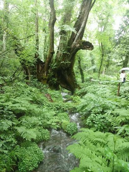 パワースポットである樹齢千年桂の木