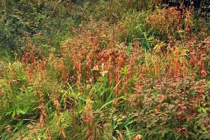 ハクサンタイゲキの草紅葉