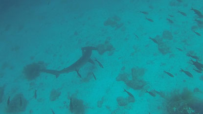 Quand le requin marteau arrive...