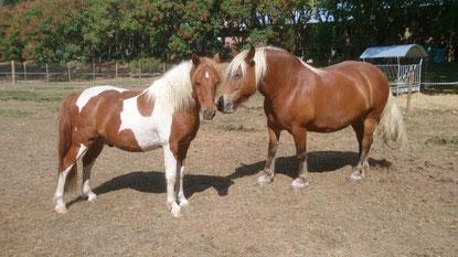 Nikon et Griotte, deux des poneys de l'hôpital.