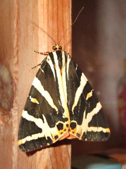 Jersey tiger moth Euplagia quadripunctaria