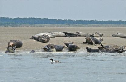 Phoques, phoques gris, phoques veaux marins, baie de Somme, sortie nature, randonnée, guide, spécialiste, oiseaux