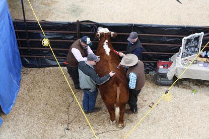 Vier Männer frisieren eine Kuh - auch ein schönes Bild