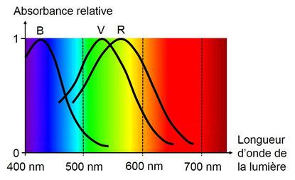 Réponse des cônes à la longueur d'onde de la lumière
