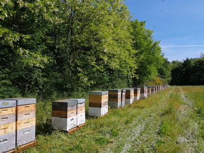 ruches sur une parcelle d'acacia (miel pain d'épices pollen)