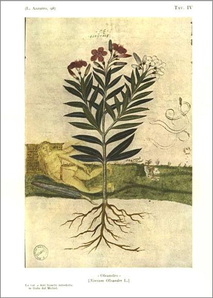 Oleander mit der weißen  Blüte, Pietro Antonio Michiel