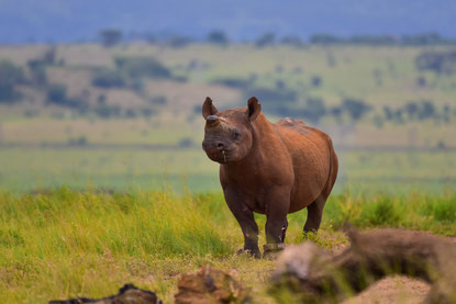 Ein Black Rhino