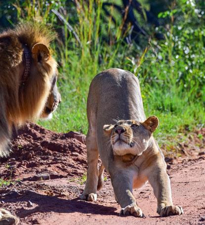 Löwen-Vorspiel?