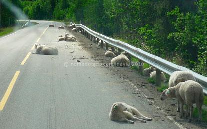 Les moutons occupent nonchalamment la route.
