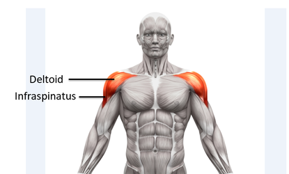 muscle group shoulders