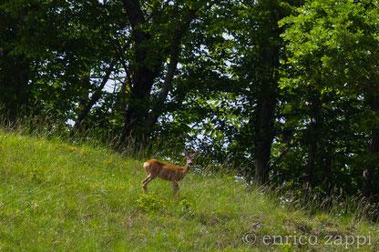 Femmina di Capriolo al bordo di una radura fra i faggi del Parco Nazionale delle Foreste Casentinesi.