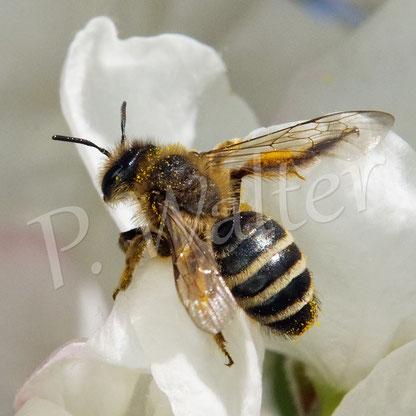 Bild: Bindensandbiene, Andrena spec., am Zierapfel