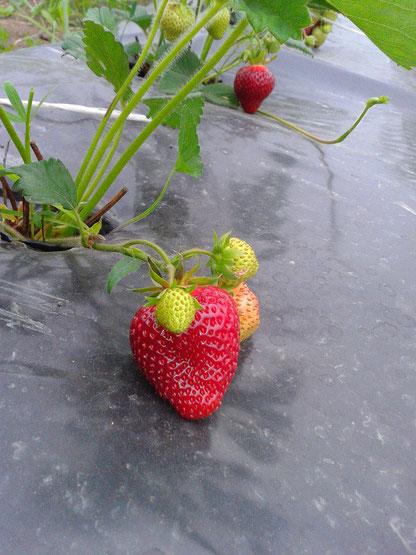 Хонеойе - первая ягода
