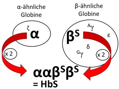 Abb. 1: Bildung von Sichelzell-Hämoglobin HbS aus zwei α- und zwei veränderten β-Ketten (β-S-Globine)