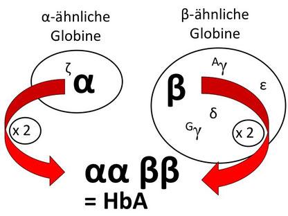 Abb. 1: Bildung von Hämoglobin A aus zwei alpha- und zwei beta-Ketten