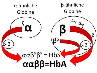 """Abb. 1: Hämoglobin-Produktion bei einem """"Träger"""""""