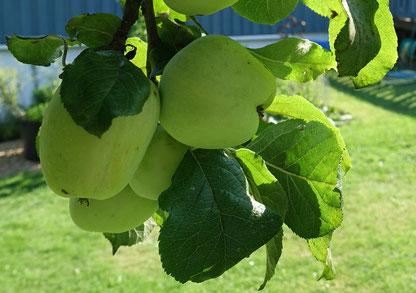 Hanggarten Naturstrategie Apfelbaum