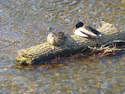 Zwei Enten ruhen sich unterhalb der Oderbrücke aus