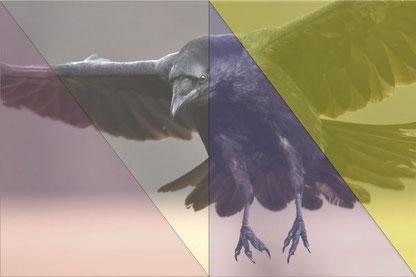 Krähen sehen Farben anders und im UV Bereich