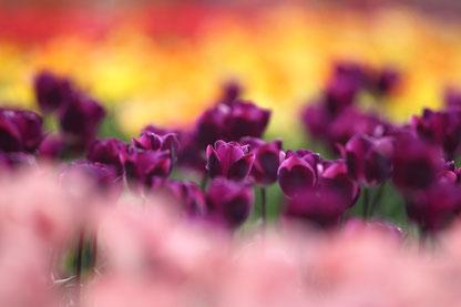 紫のチューリップ 畑