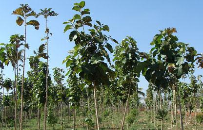Hier sieht man junge Teakbäume