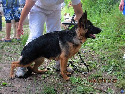 "Жантиль фон Нордэн(Ярант фон Нордэн-Шанта фон Нордэн)-1""большая перспектива"" в классе бэби,лучш.бэби,3-е место на Бэсте бэби из 6 собак."