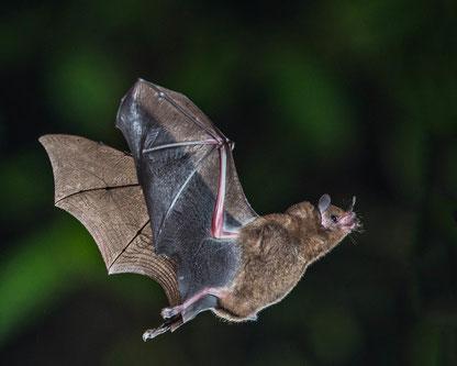 La Bible parle à 3 reprises de la chauve-souris. 2 fois dans une liste d'oiseaux impurs interdits à la consommation d'après la Loi mosaïque.  Il est surprenant d'y retrouver la chauve-souris qui est un mammifère.