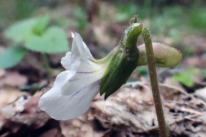 ヒカゲスミレの花の側面  萼・虚・花柄に毛があります